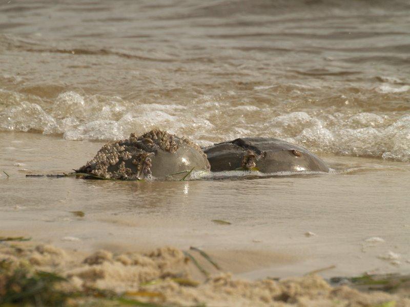 Horseshoe crab feeding - photo#12